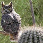 Imperial Dam LTVA - Great Horned Owl
