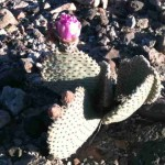 Imperial Dam LTVA - Prickly Pear